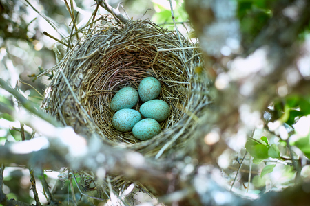 Nest with eggs on a tree in the wild in the spring. Stock Photo