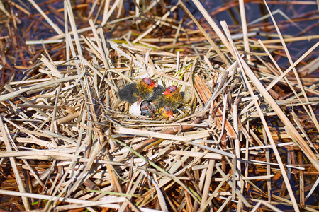 continuation: Nest on the water with chicks in the wild.