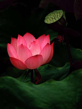 Pink lotus flower blooming beautifully. Stock Photo - 1328965