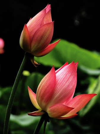 Pink lotus flowers blooming beautifully.