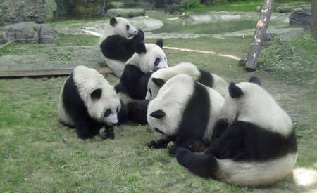chengdu: Pandas in the Zoo of Beijing,China,having their lunch on the ground. Stock Photo
