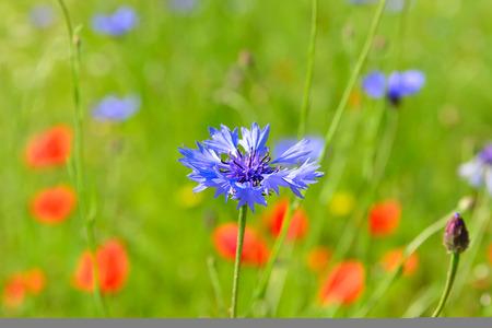 양 귀 비와하는 cornflowers 야생화 초원 다채로운 야생화 초원
