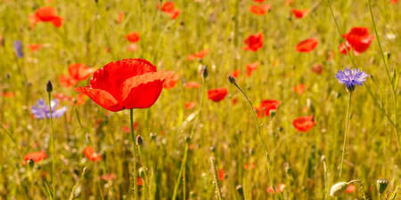 fiori di campo: Wildflower Meadow Wildflower Colorful prato con papaveri e fiordalisi