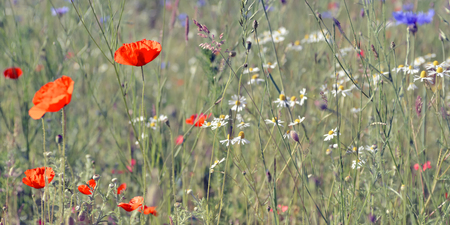 Wildflower Meadow Colorful wildflower meadow with poppies and cornflowers photo
