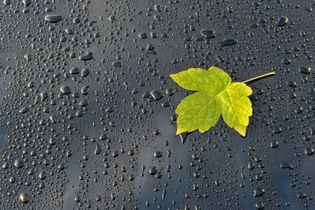 Water Drops on Black Polished Car paint with leaf