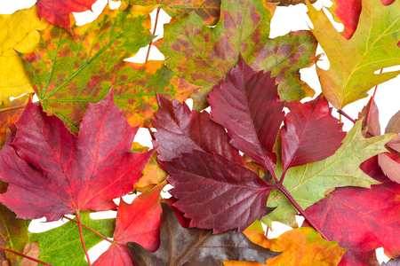 Autumn Leaves on White - clipping path