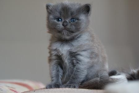 funny little british kitten one