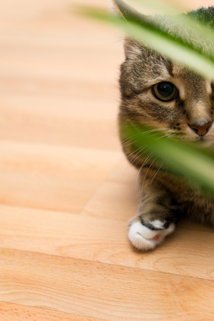 moggy: Domestic Cat. striped cat looking through the leaves