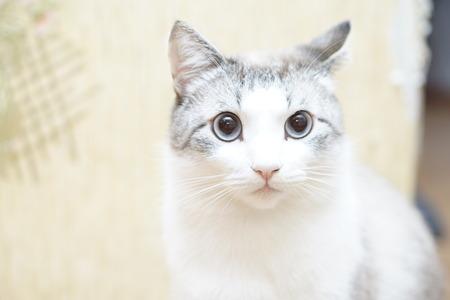 A blackwhite cat has blue eyes