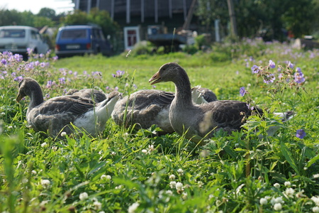 domestic ducks in the village on the green grass Stock Photo