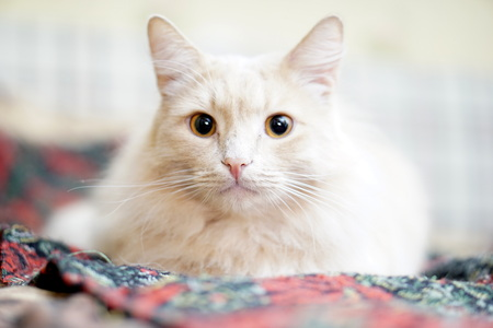 A beautiful cat is sitting on the bed