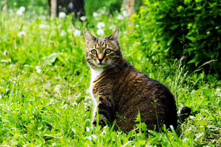 A large tabby cat is sitting in the grass. on the Sunset
