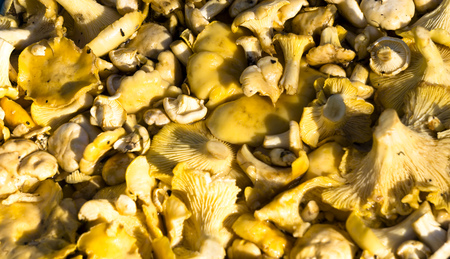 Raw fresh chanterelle mushroom background. Cantharellus cibarius or girolle fungus.