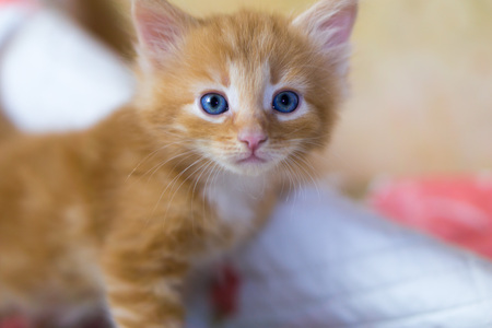 babies: Fluffy funny redhead kitten with blue eyes
