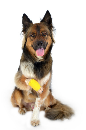 dog with injured paw Stock Photo