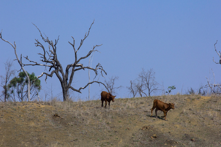 Two young cattle trot down from a ridge in a drought stricken paddock