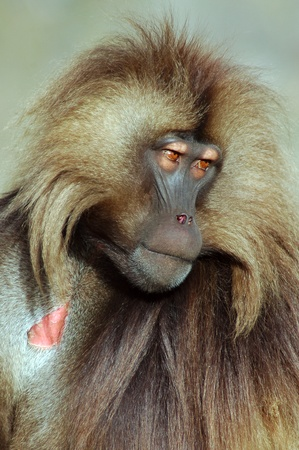 Gelada baboon looking to the right in Simeon mountains in Ethiopia photo