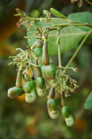 cashew tree: Cashew nuts growing on a tree Stock Photo
