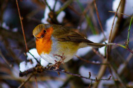 Robin en Snow Stockfoto - 43428367