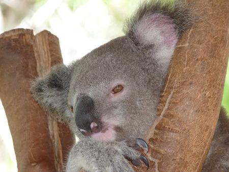 marsupial: koala Stock Photo