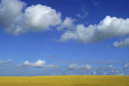 oil rape: Oil Seed Rape Field with blue sky and clouds Stock Photo