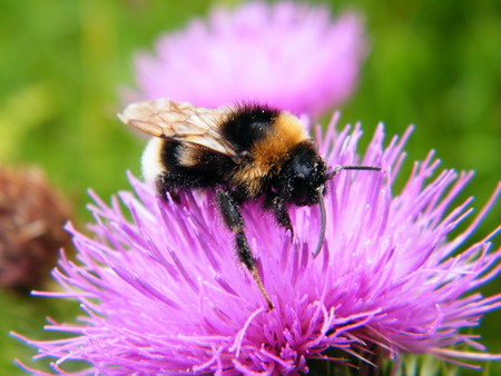 bumble bee: Bumble Bee on Thistle Flower