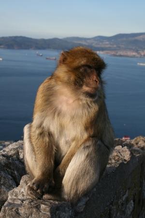 Barbary macaque, Rock of Gibraltar, Gibraltar photo