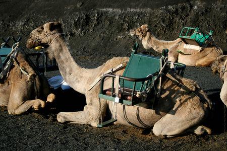 timanfaya: Treking Camel, el Parque Nacional de Timanfaya, Lanzerote, Espa�a