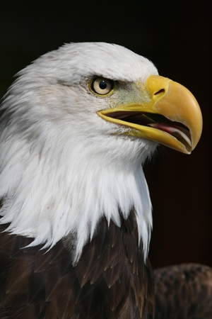 Portrait of Bald Eagle, Haliaeetus leucocephalus,  the United States national bird  photo