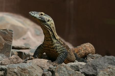 varanus: Komodo dragon, Varanus komodoensis, aka Komodo monitor