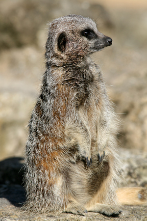 suricata suricatta: Meerkat, suricata suricatta, sitting upright  Stock Photo