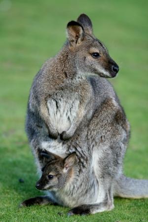 mainland: Mother and joey, Bennetts wallabies, macropus rufogriseus, Tasmania and mainland Australia