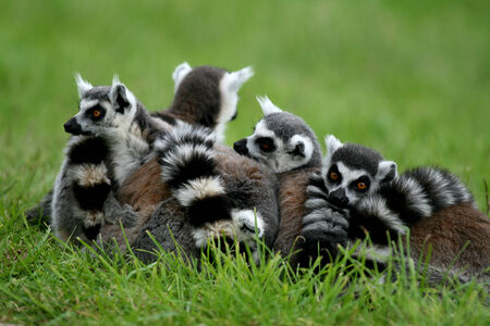 catta: Ring tailed lemurs, lemur catta, native to Madagascar