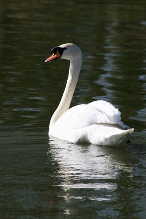 Swan on River Chelmer, Chelmsford, Essex, England photo