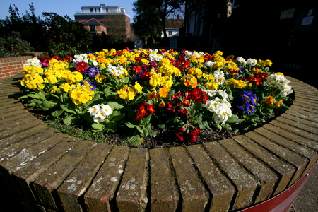 primroses: Flower bed of primroses, Castle Park, High Street, Colchester, Essex, England Editorial