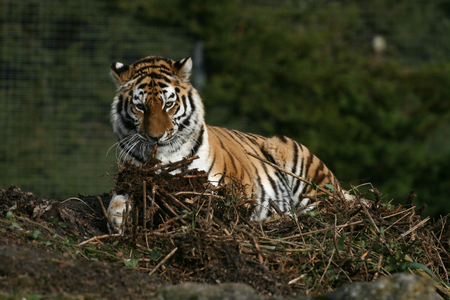 the amur: Amur tiger,  Linton Zoo, Cambridgeshire, England