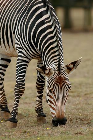 cambridgeshire: Hartmanns zebra, Linton Zoo, Linton, Cambridgeshire, England