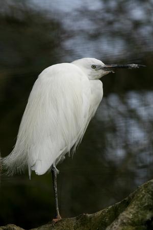 cambridgeshire: Little egret, Linton Zoo, Cambridgeshire, England Stock Photo