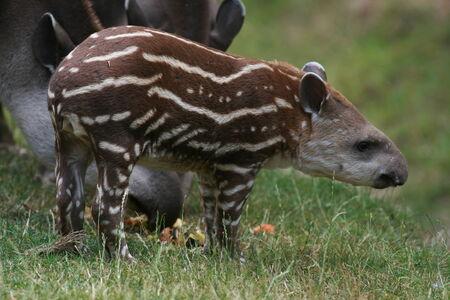 cambridgeshire: Young Brazilian tapir, Linton Zoo, Cambridgeshire, England Stock Photo