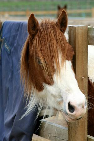 cole: Cavallo che osserva attraverso la recinzione del recinto cippato, Ada Cole Rescue Centre, Redwings Horse Sanctuary, Broadley Common, nr Nazeing, Essex, Inghilterra Archivio Fotografico