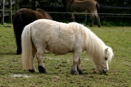 cole: Pony Shetland, Ada Cole Rescue Centre, Redwings Horse Sanctuary, Broadley Common, nr Nazeing, Essex, Inghilterra Archivio Fotografico