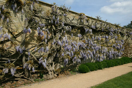 approx: Part of wisteria plant covering a wall approx 25m x 4m, Wrest Park, near Silsoe, Bedfordshire, England