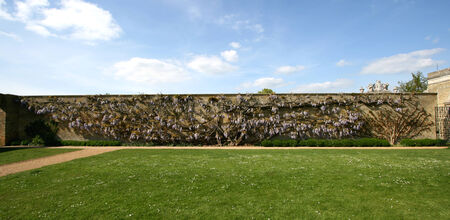 wrest: Wisteria plant covering a wall approx 25m x 4m, Wrest Park, near Silsoe, Bedfordshire, England Editorial