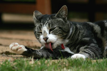 cat grooming: Black grey and white tabby cat with red collar grooming itself on garden patio Stock Photo
