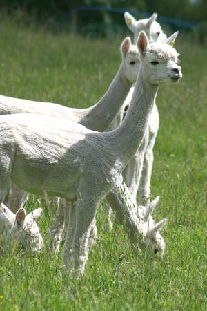 cambridgeshire: Sheared alpacas, alpaca farm, near Cambridge, Cambridgeshire, England