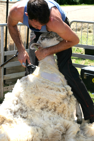Sheep shearing, Open Farm Sunday 2014, Burwash Manor, Barton, near Cambridge, Cambridgeshire, England
