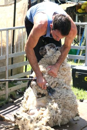 cambridgeshire: Sheep shearing, Open Farm Sunday 2014, Burwash Manor, Barton, near Cambridge, Cambridgeshire, England