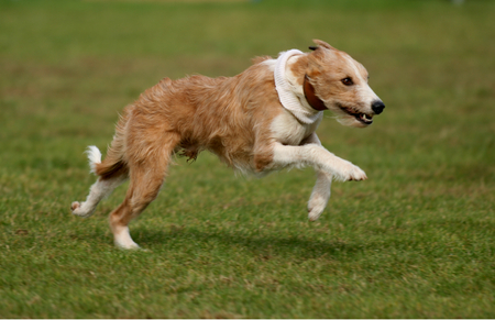 lurcher: Lurcher dog on simulated coursing exhibition