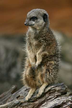 zoological: Meerkat at Zoological Society of London, Whipsnade Zoo near Dunstable, Bedfordshire, England