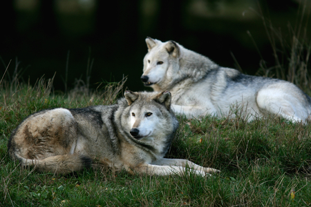 zoological: European grey wolves at Zoological Society of London, Whipsnade Zoo near Dunstable, Bedfordshire, England